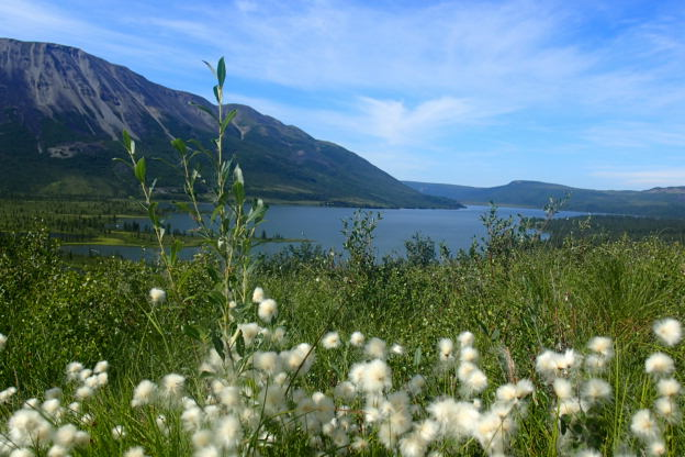 Cotton like plants with Tanada Lake in the distance